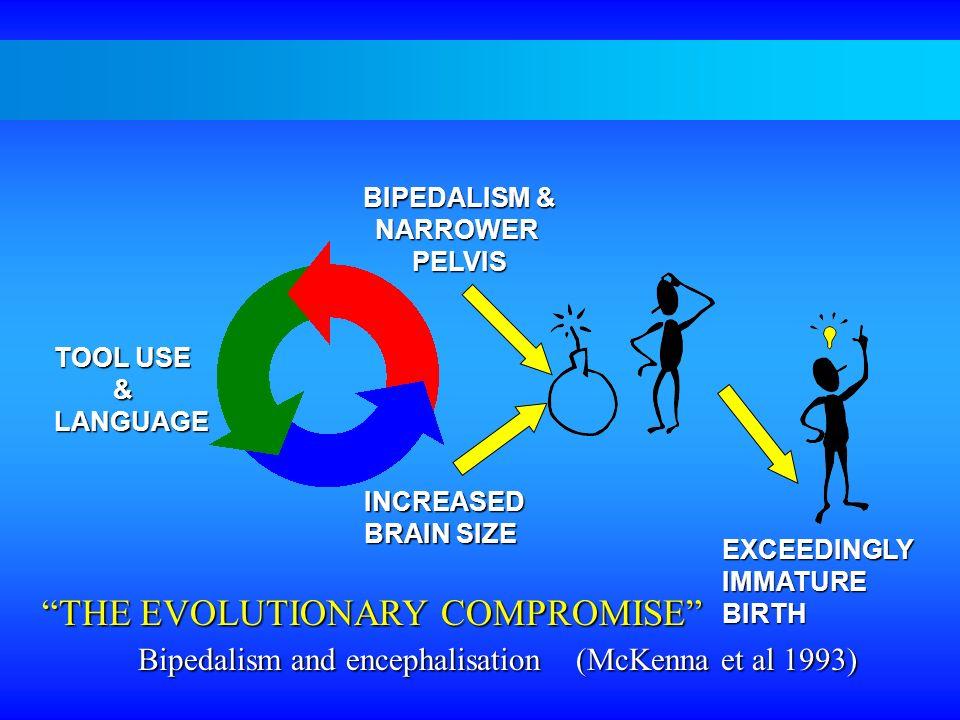 INCREASED BRAIN SIZE TOOL USE &LANGUAGE BIPEDALISM & NARROWERPELVIS EXCEEDINGLYIMMATUREBIRTH THE EVOLUTIONARY COMPROMISE Bipedalism and encephalisatio