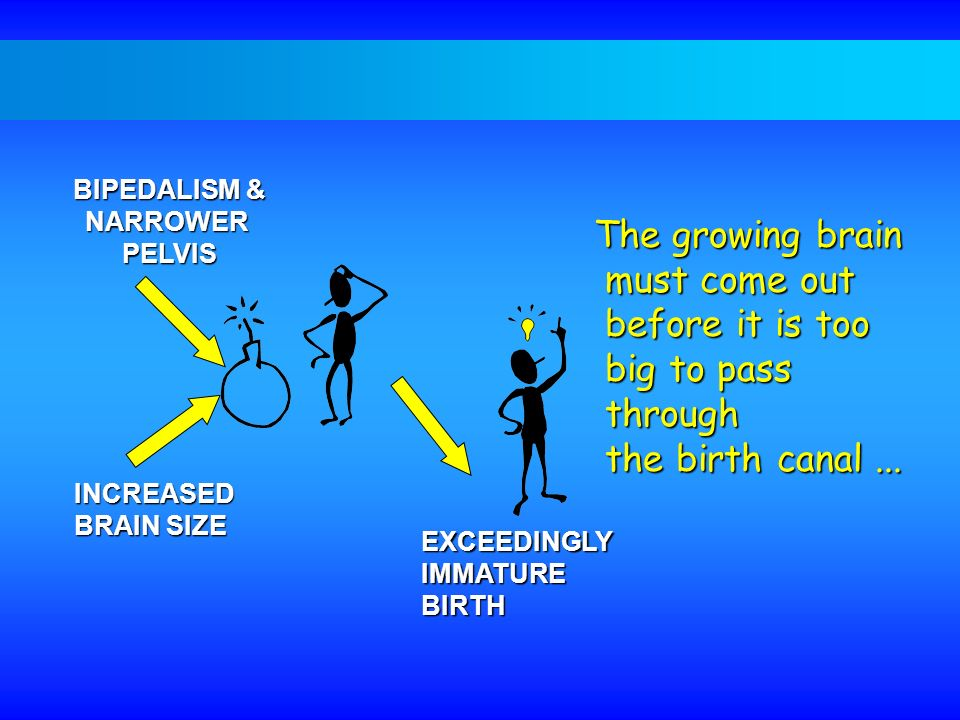 INCREASED BRAIN SIZE BIPEDALISM & NARROWERPELVIS EXCEEDINGLYIMMATUREBIRTH The growing brain must come out must come out before it is too before it is