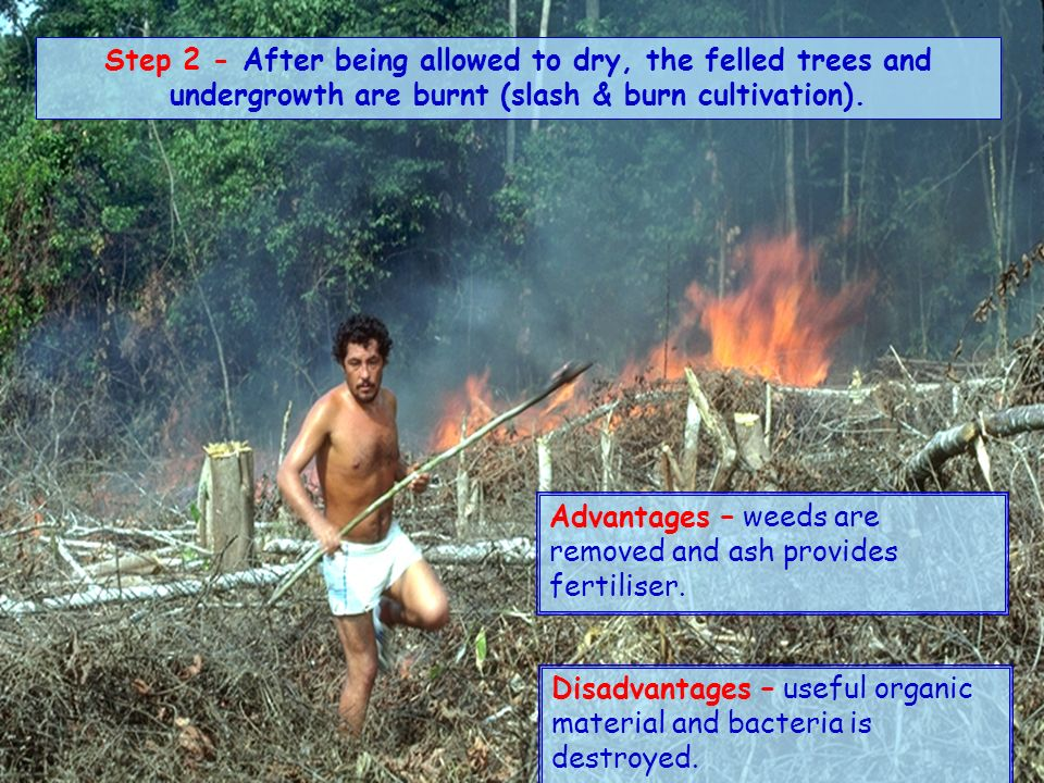 Step 1 – With the help of stone axes and matches (low technology), the Jivaro Indians clear a small area of about 1 hectare of forest. Sometimes the l