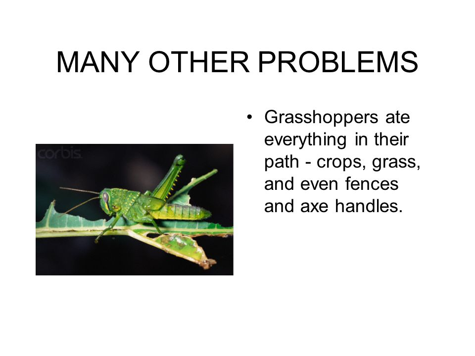 MANY OTHER PROBLEMS Grasshoppers ate everything in their path - crops, grass, and even fences and axe handles.