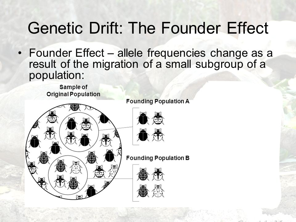 Genetic Drift: The Founder Effect Founder Effect – allele frequencies change as a result of the migration of a small subgroup of a population: Sample