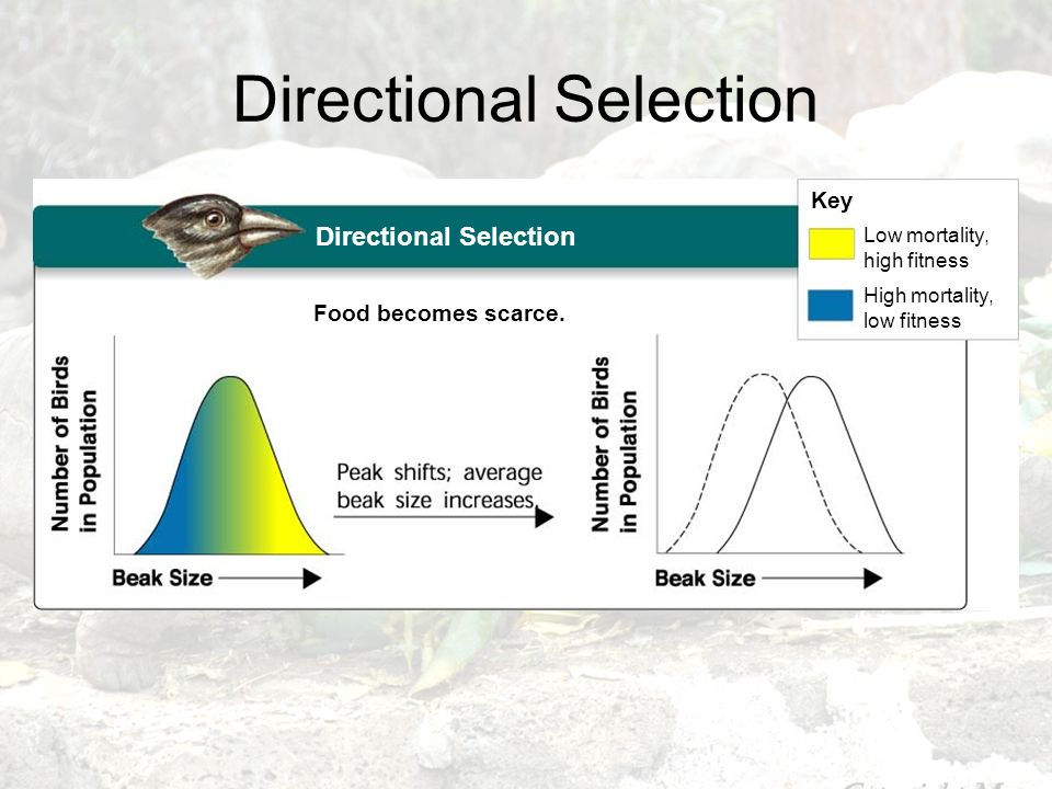 Directional Selection Food becomes scarce. Key Low mortality, high fitness High mortality, low fitness