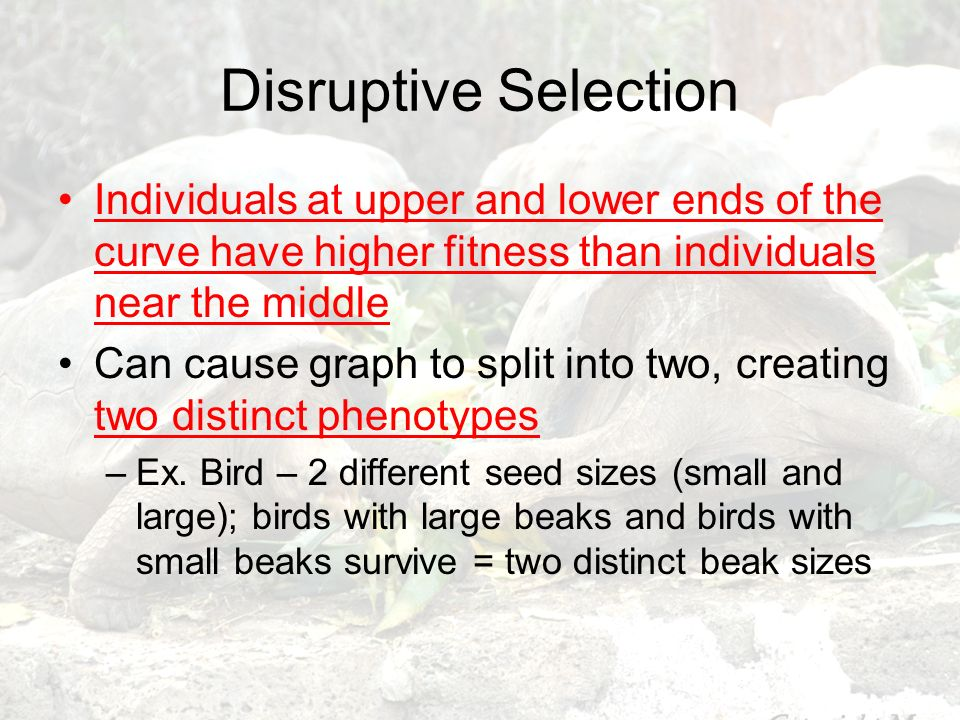 Disruptive Selection Individuals at upper and lower ends of the curve have higher fitness than individuals near the middle Can cause graph to split in