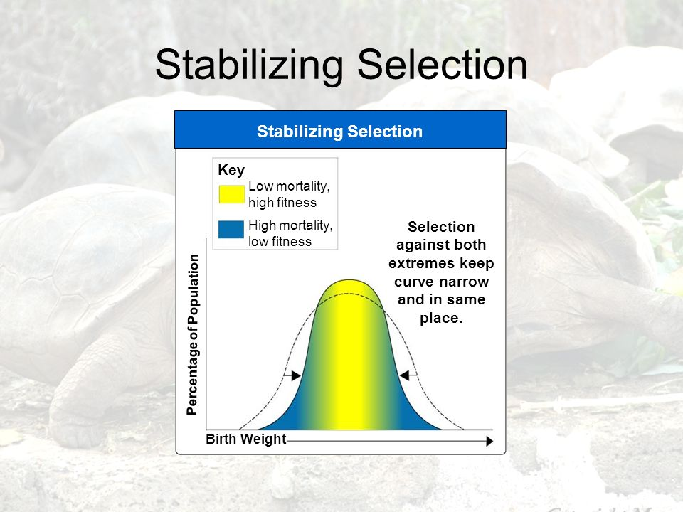 Stabilizing Selection Key Percentage of Population Birth Weight Selection against both extremes keep curve narrow and in same place. Low mortality, hi
