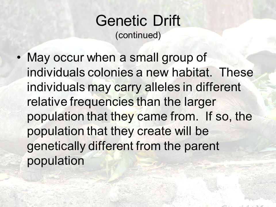 Genetic Drift (continued) May occur when a small group of individuals colonies a new habitat. These individuals may carry alleles in different relativ