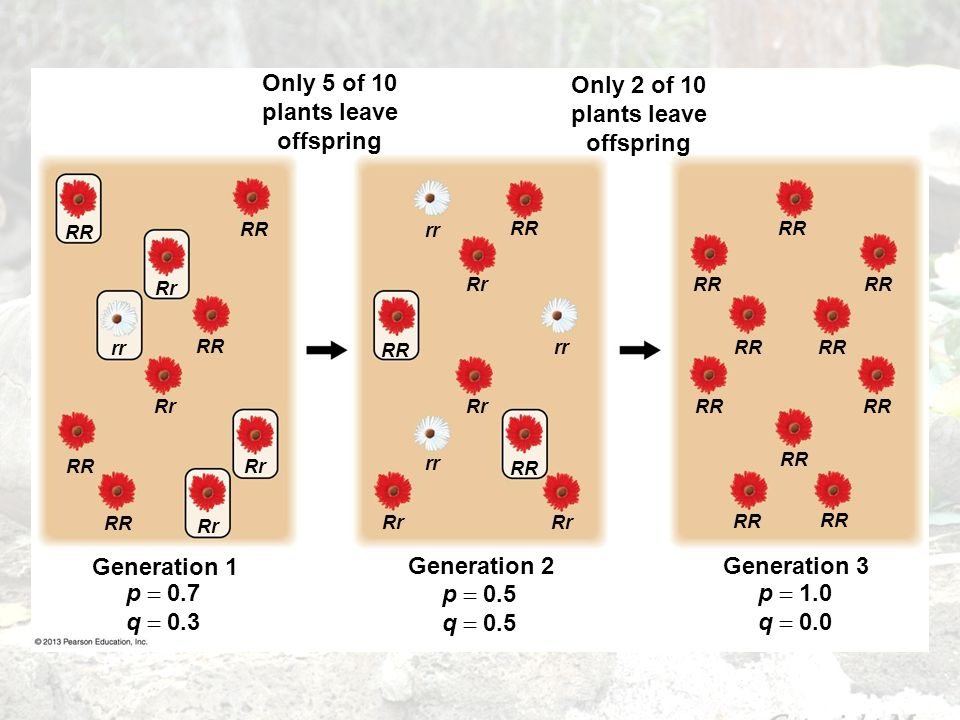 Only 5 of 10 plants leave offspring RR rr Rr RR Rr RR Rr Only 2 of 10 plants leave offspring RR rr RR Rr rr RR Rr rr RR Generation 1 p 0.7 q 0.3 Gener