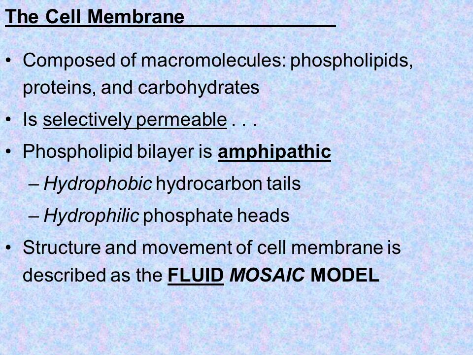 The Cell Membrane Composed of macromolecules: phospholipids, proteins, and carbohydrates Is selectively permeable... Phospholipid bilayer is amphipath