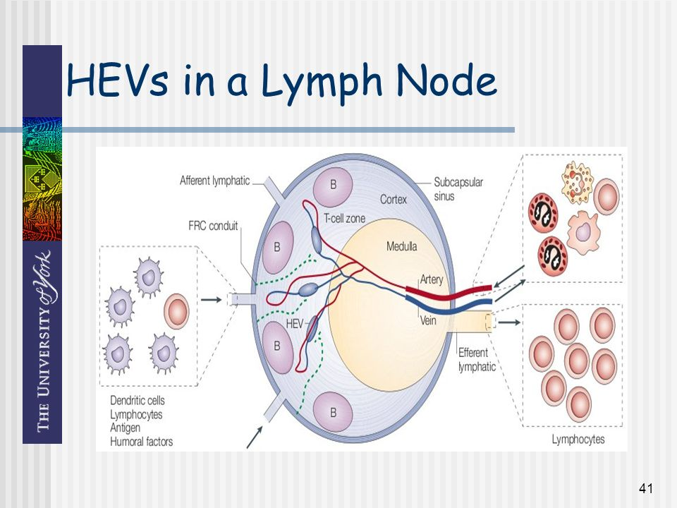 41 HEVs in a Lymph Node