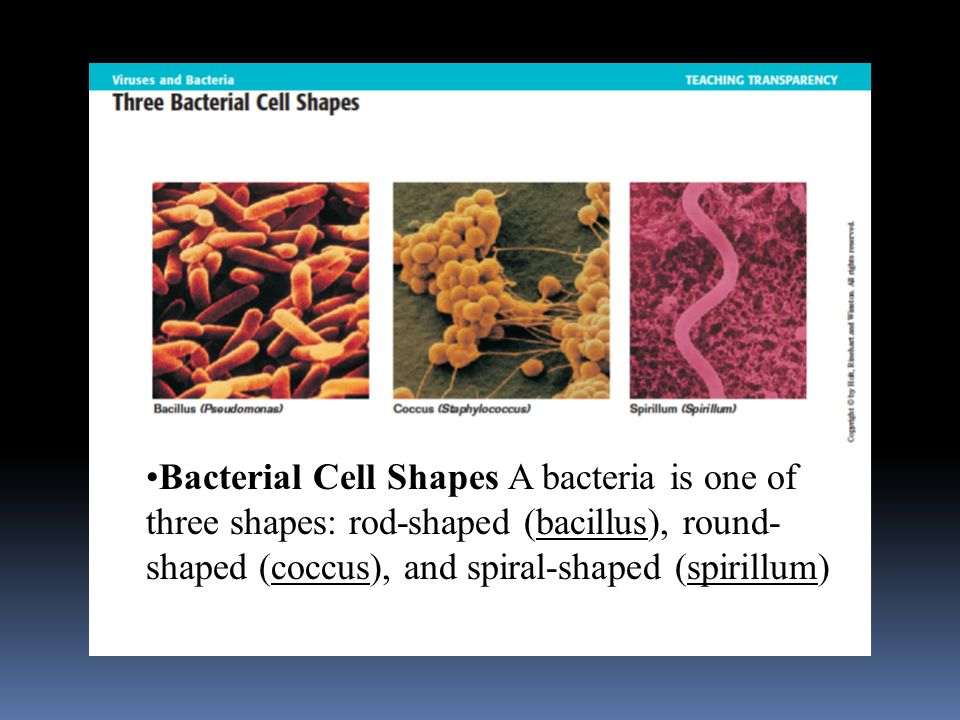 Bacterial Cell Shapes A bacteria is one of three shapes: rod-shaped (bacillus), round- shaped (coccus), and spiral-shaped (spirillum)