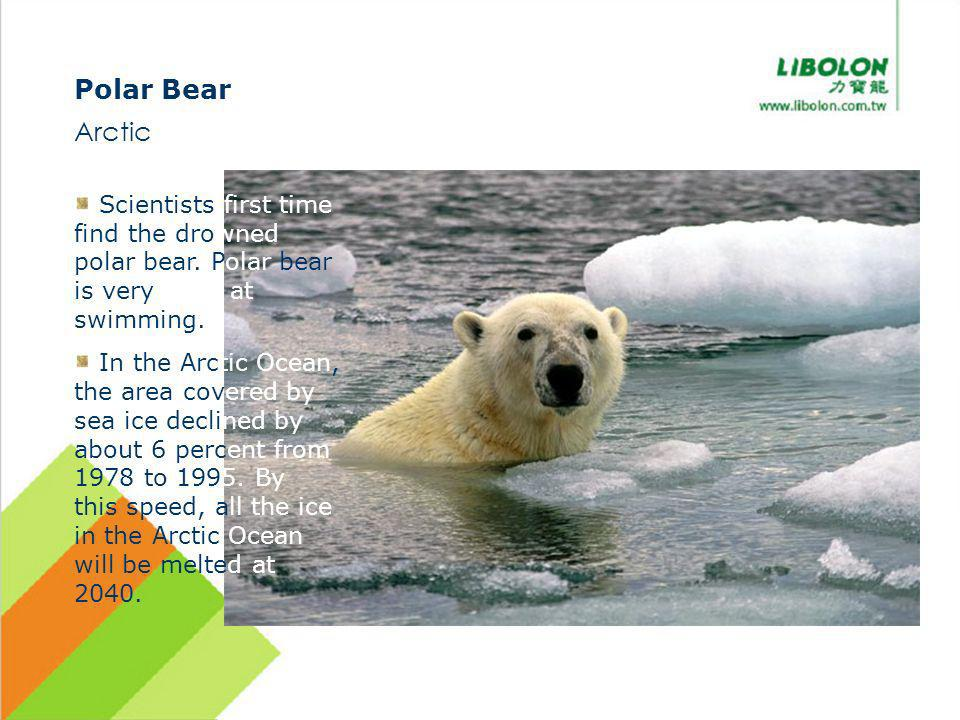 Polar Bear Arctic Scientists first time find the drowned polar bear. Polar bear is very good at swimming. In the Arctic Ocean, the area covered by sea