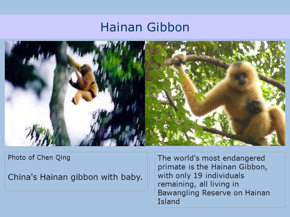 Hainan Gibbon Photo of Chen Qing China s Hainan gibbon with baby.