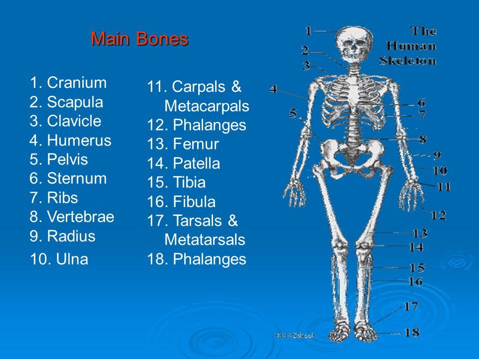 Main Bones 1. Cranium 2. Scapula 3. Clavicle 4. Humerus 5. Pelvis 6. Sternum 7. Ribs 8. Vertebrae 9. Radius 10. Ulna 11. Carpals & Metacarpals 12. Pha