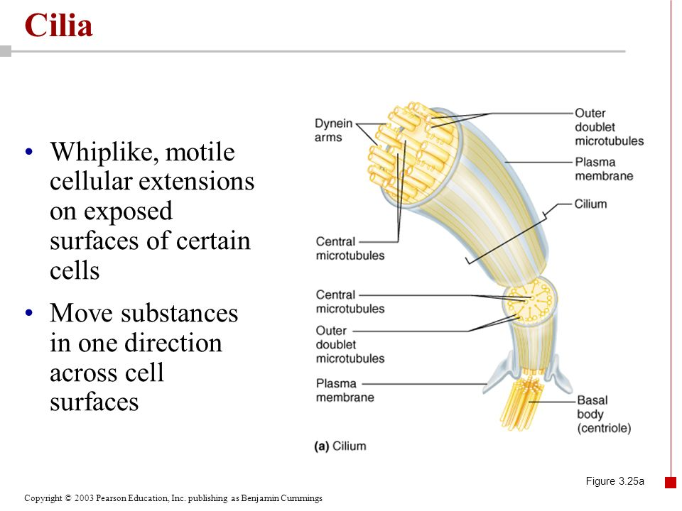 Copyright © 2003 Pearson Education, Inc. publishing as Benjamin Cummings Cilia Figure 3.25b
