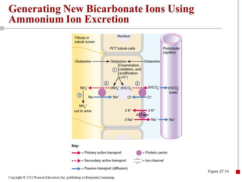 Copyright © 2003 Pearson Education, Inc. publishing as Benjamin Cummings Figure 27.14 Generating New Bicarbonate Ions Using Ammonium Ion Excretion