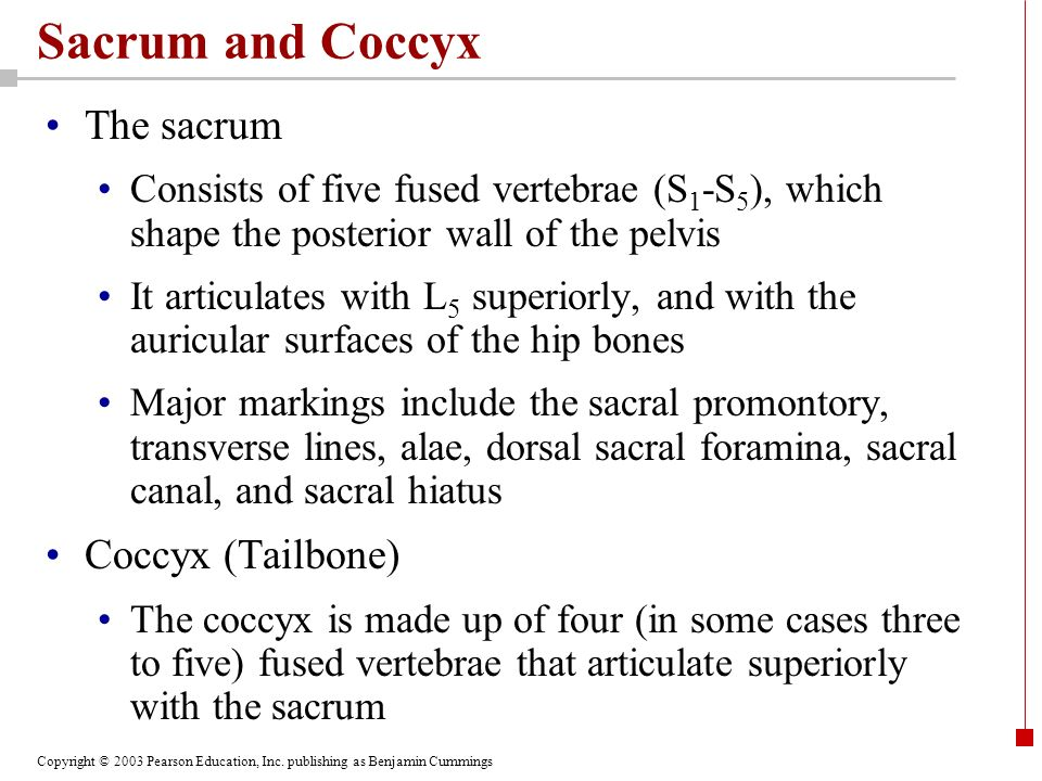 Copyright © 2003 Pearson Education, Inc. publishing as Benjamin Cummings Sacrum and Coccyx The sacrum Consists of five fused vertebrae (S 1 -S 5 ), wh