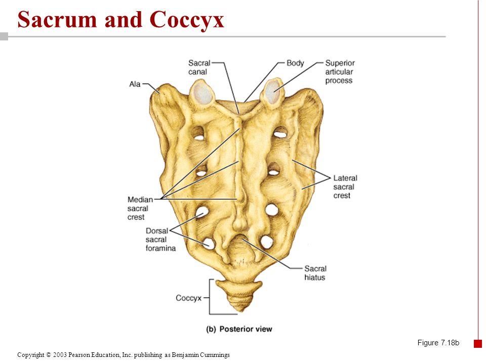 Copyright © 2003 Pearson Education, Inc. publishing as Benjamin Cummings Sacrum and Coccyx Figure 7.18b