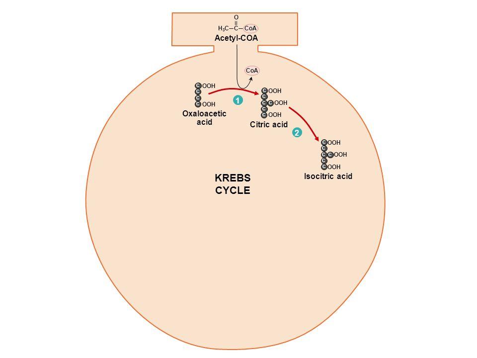 Acetyl-COA 1 Citric acid KREBS CYCLE Oxaloacetic acid C C C C C OOH C CoA C O H3CH3C C C C C OOH 2 Isocitric acid C C C C OOH C C -Ketoglutaric acid 3 + CO 2 NAD + C C C C OOH C NADH