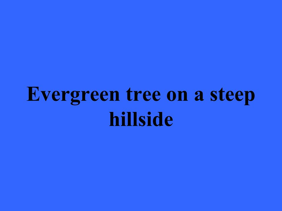 Evergreen tree on a steep hillside