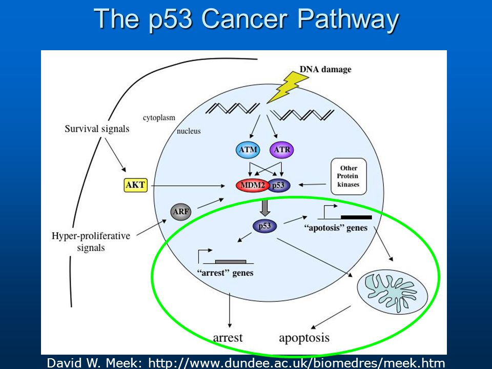 The p53 Cancer Pathway David W. Meek: http://www.dundee.ac.uk/biomedres/meek.htm