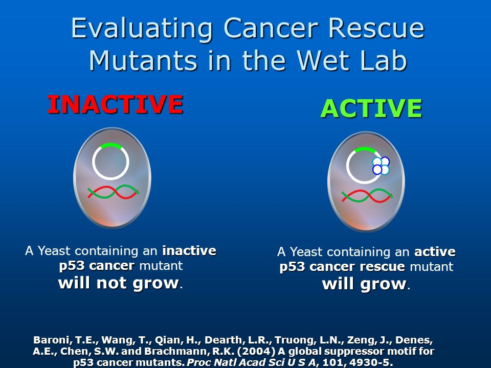 Evaluating Cancer Rescue Mutants in the Wet Lab inactive p53 cancer will not grow A Yeast containing an inactive p53 cancer mutant will not grow. acti