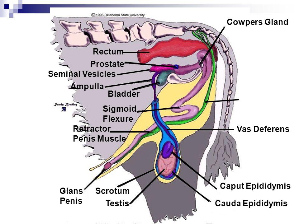 Cowpers Gland Caput Epididymis Cauda EpididymisTestis ScrotumGlans Penis Retractor Penis Muscle Sigmoid Flexure Bladder Ampulla Seminal Vesicles Prost