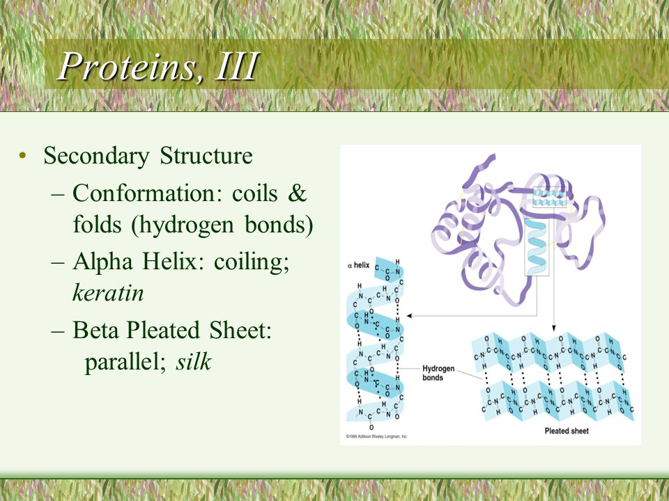 Proteins, III Secondary Structure –Conformation: coils & folds (hydrogen bonds) –Alpha Helix: coiling; keratin –Beta Pleated Sheet: parallel; silk