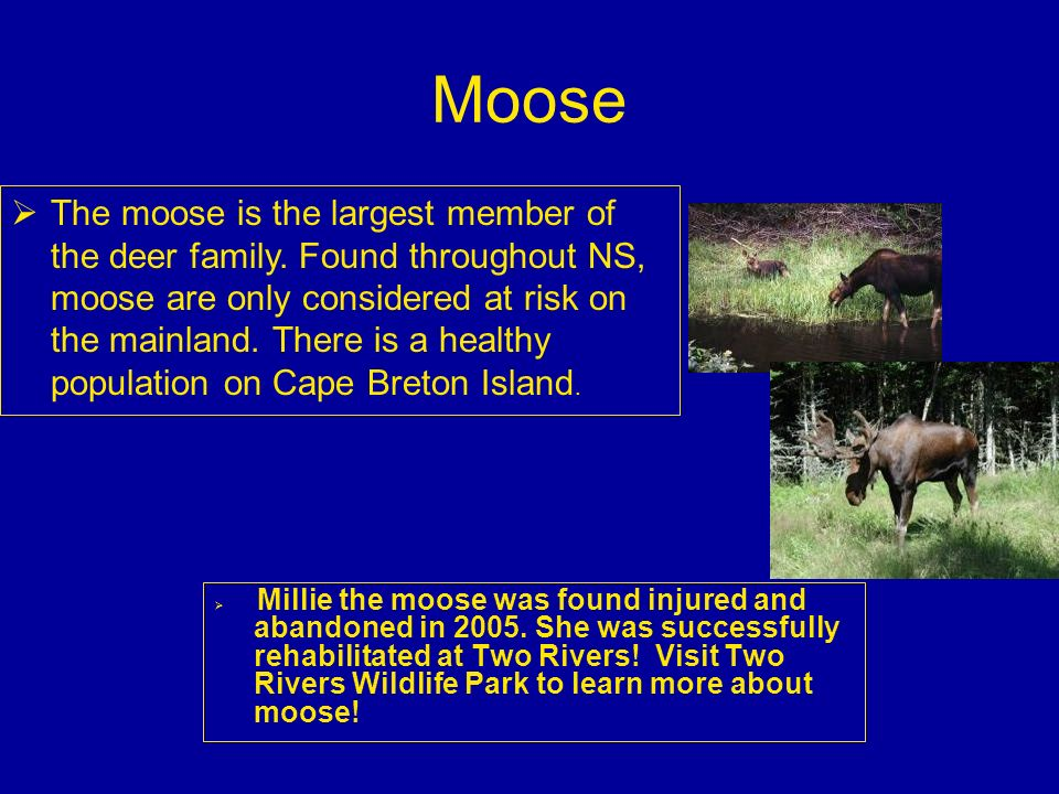 Moose Millie the moose was found injured and abandoned in 2005. She was successfully rehabilitated at Two Rivers! Visit Two Rivers Wildlife Park to le