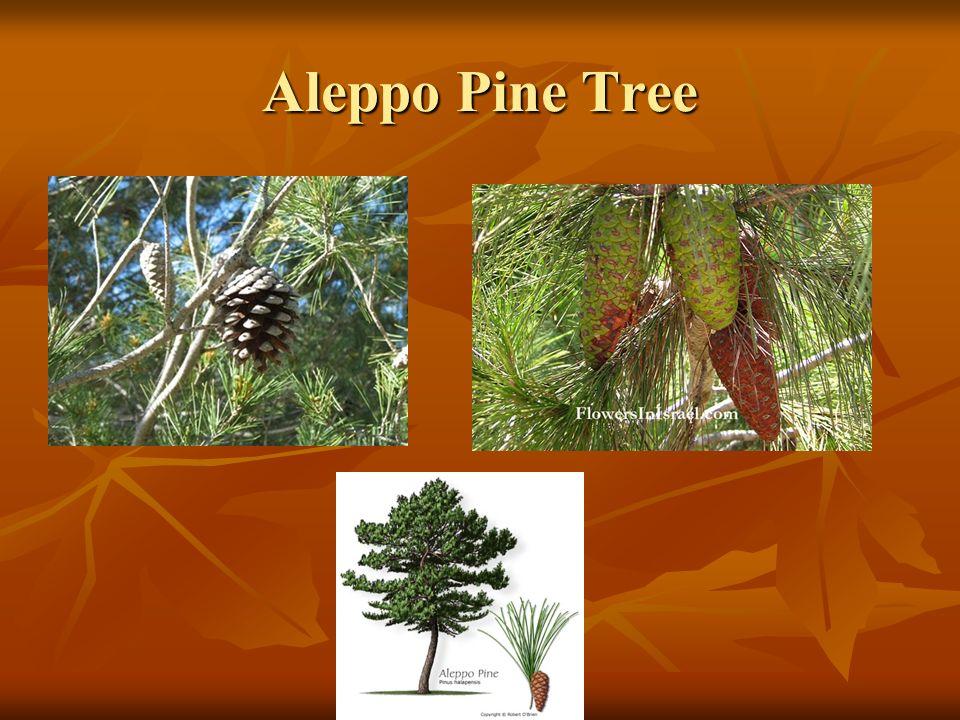 Aleppo Pine Tree