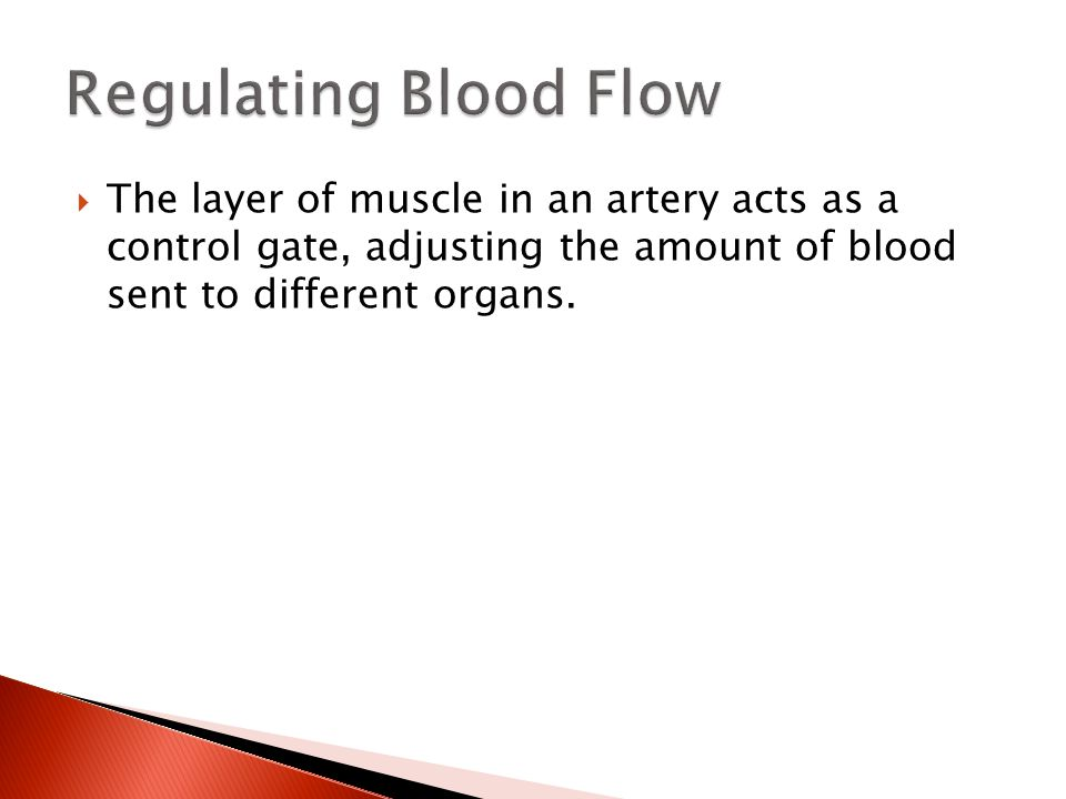 The layer of muscle in an artery acts as a control gate, adjusting the amount of blood sent to different organs.