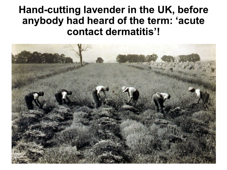 Hand-cutting lavender in the UK, before anybody had heard of the term: acute contact dermatitis!
