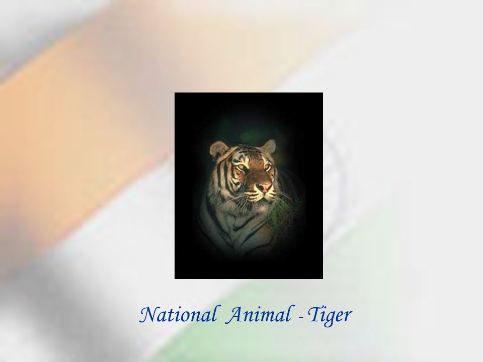 National Animal - Tiger