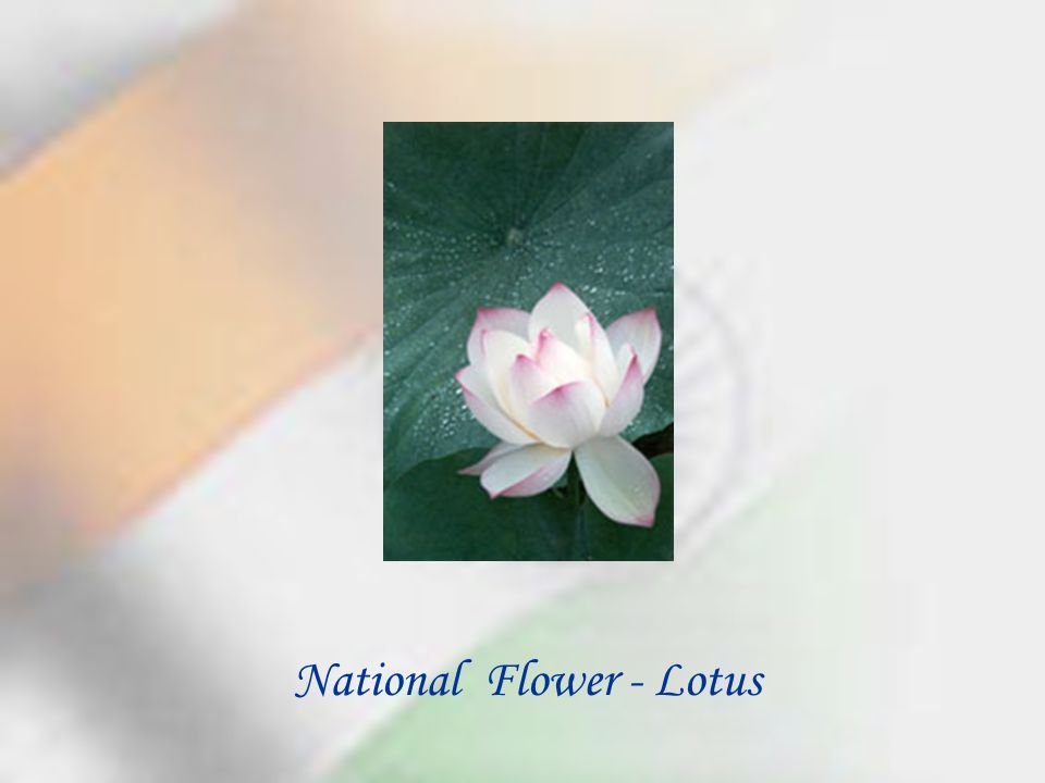National Flower - Lotus