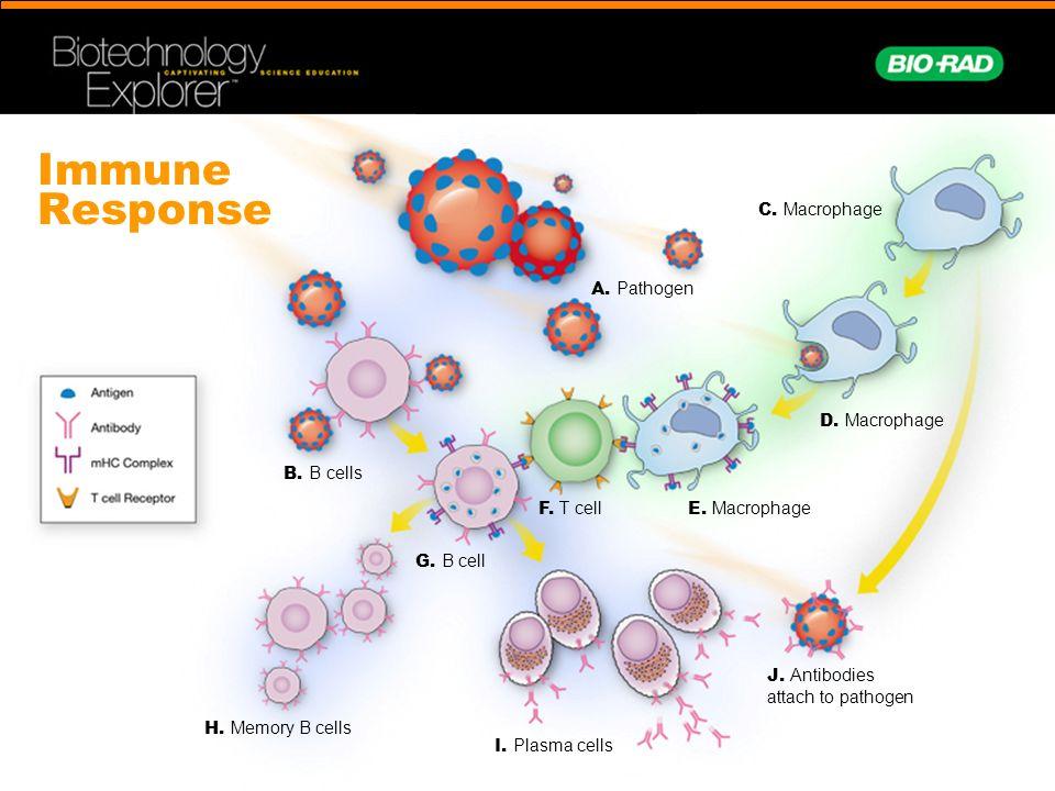 Immune Response A. Pathogen C. Macrophage D. Macrophage E. Macrophage F. T cell B. B cells G. B cell H. Memory B cells I. Plasma cells J. Antibodies a