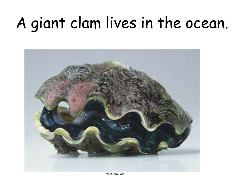 A giant clam lives in the ocean. dkimages.com