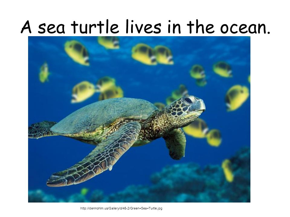 A sea turtle lives in the ocean. http://dennohlm.us/Gallery/d/45-2/Green+Sea+Turtle.jpg