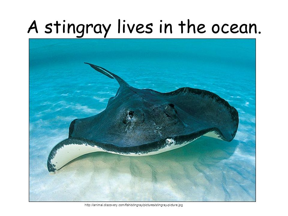 A stingray lives in the ocean.