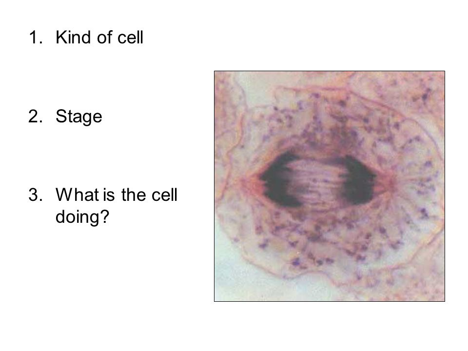 1.Kind of cell 2.Stage 3.What is the cell doing?