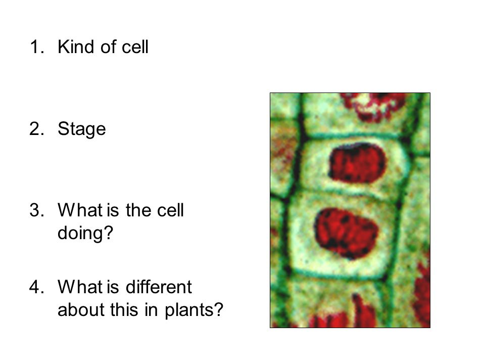 1.Kind of cell 2.Stage 3.What is the cell doing? 4.What is different about this in plants?