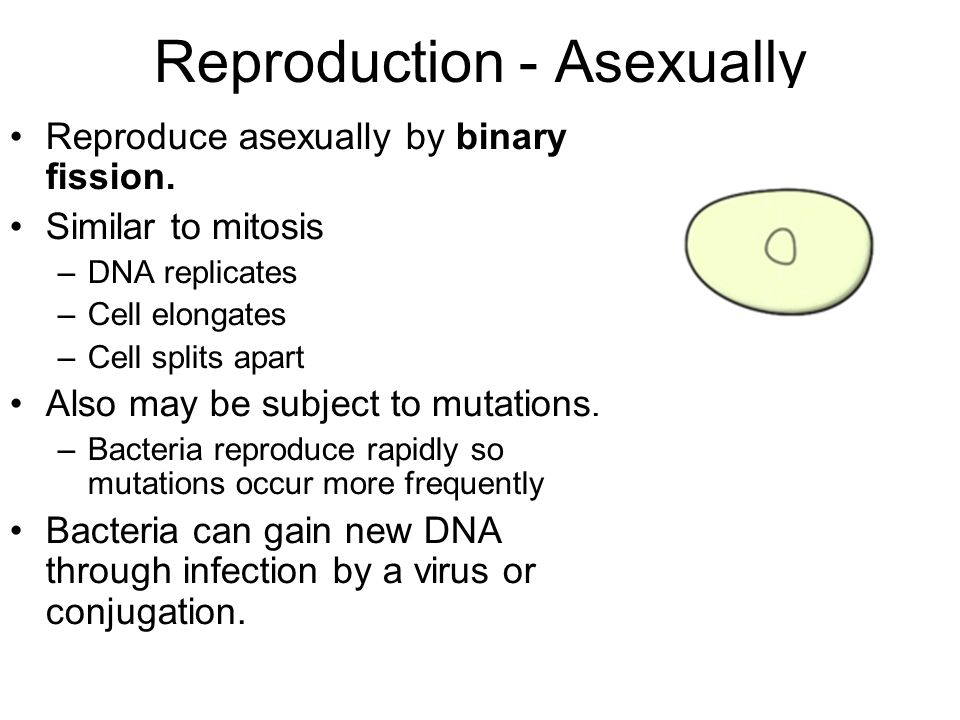 Reproduction - Asexually Reproduce asexually by binary fission. Similar to mitosis –DNA replicates –Cell elongates –Cell splits apart Also may be subj