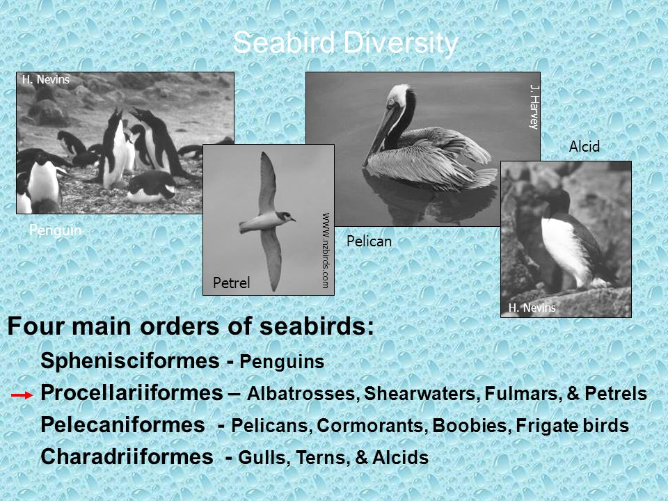 Seabird Diversity Four main orders of seabirds: Sphenisciformes - Penguins Procellariiformes – Albatrosses, Shearwaters, Fulmars, & Petrels Pelecaniformes - Pelicans, Cormorants, Boobies, Frigate birds Charadriiformes - Gulls, Terns, & Alcids Penguin Petrel Pelican Alcid H.