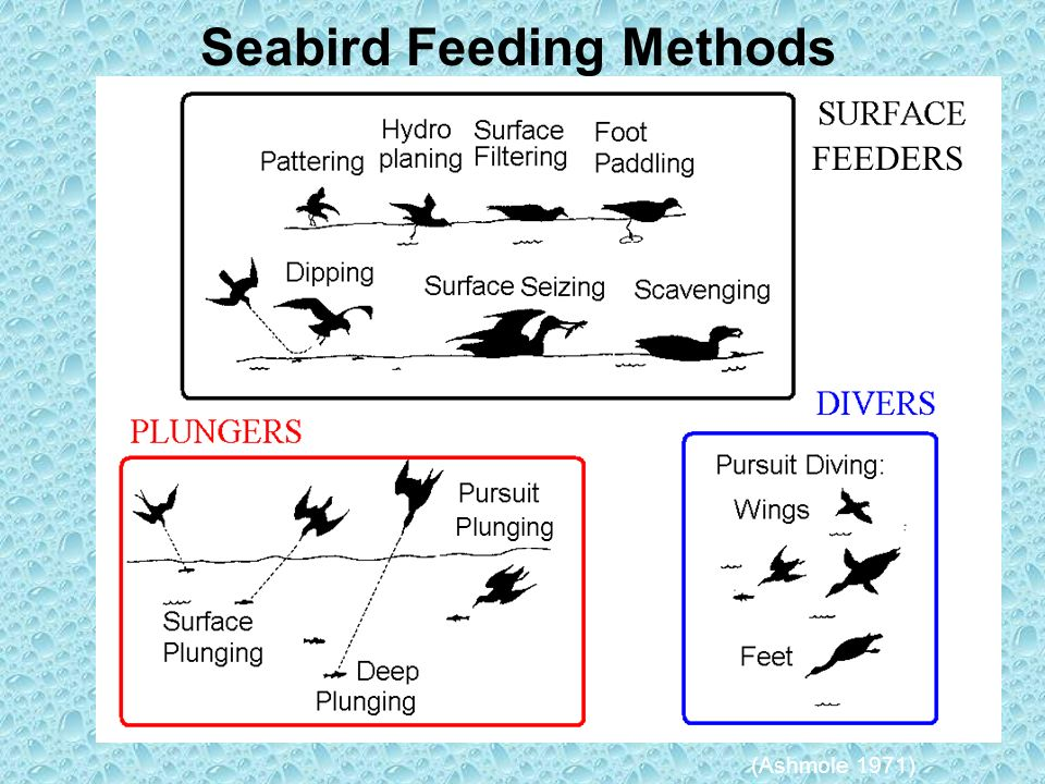 Seabird Feeding Methods (Ashmole 1971) Plunging FEEDERS