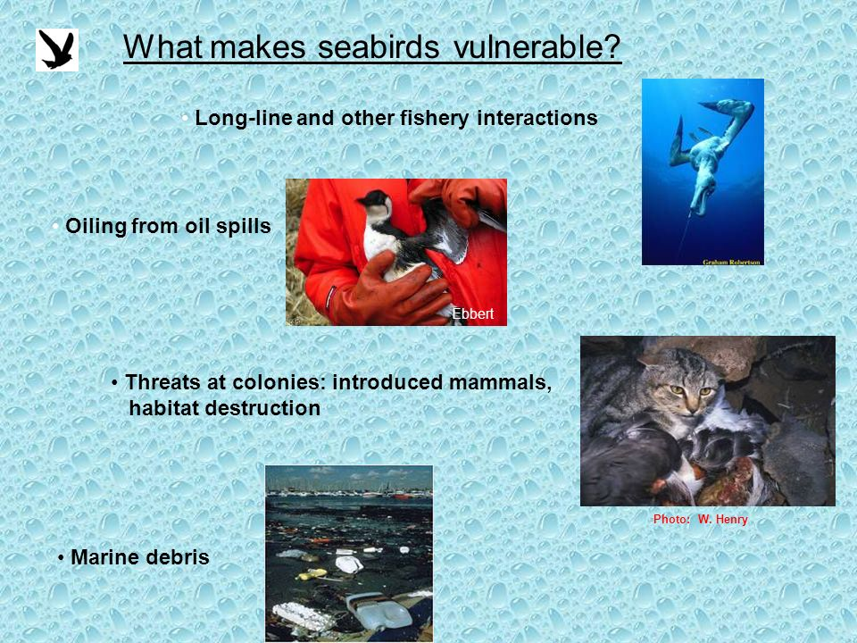 What makes seabirds vulnerable.