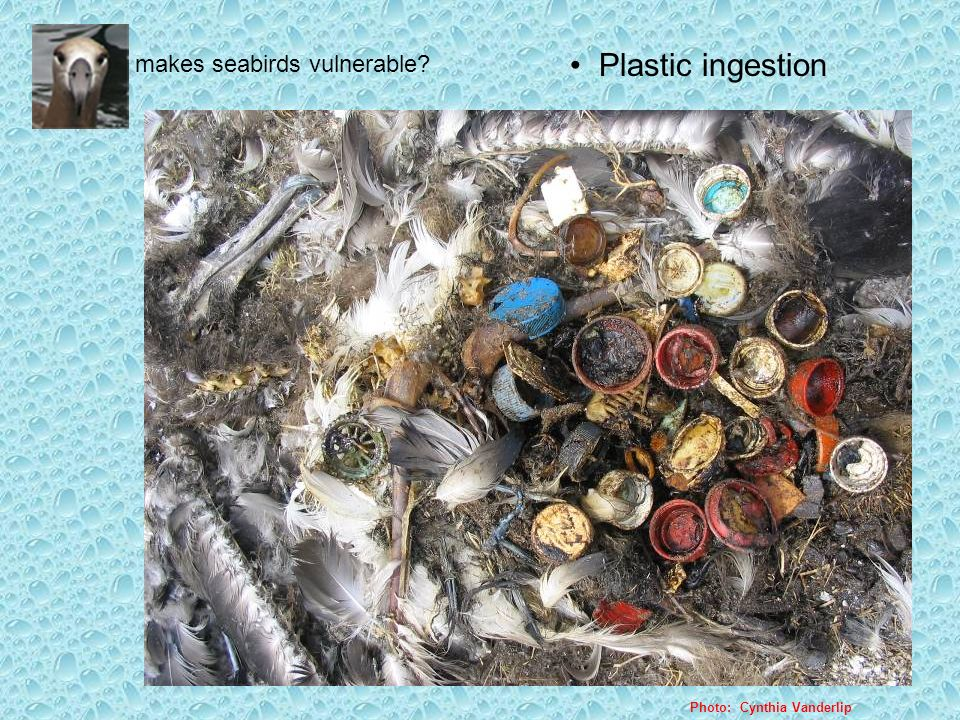 What makes seabirds vulnerable? Photo: Cynthia Vanderlip Plastic ingestion