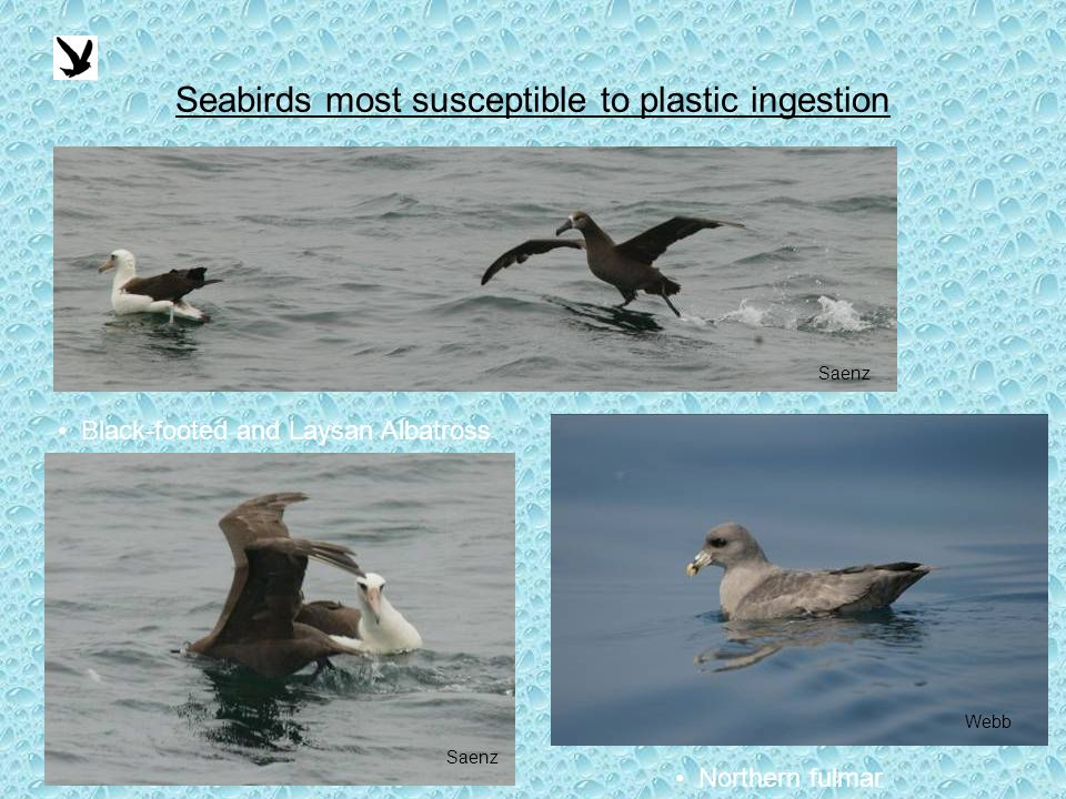 Seabirds most susceptible to plastic ingestion Saenz Black-footed and Laysan Albatross Northern fulmar Webb