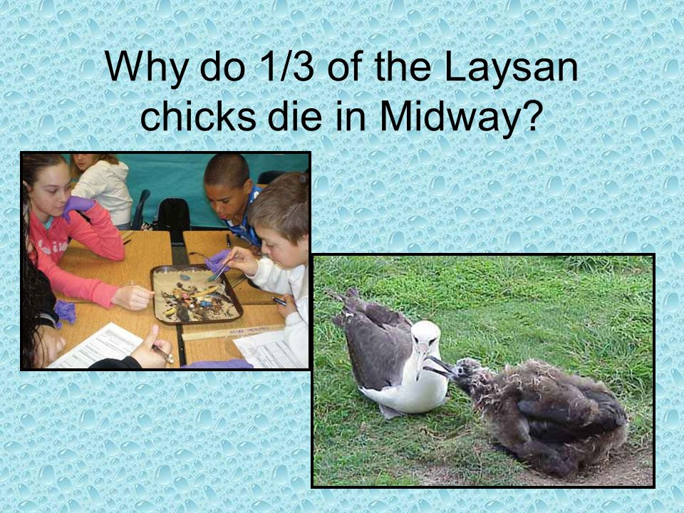 Why do 1/3 of the Laysan chicks die in Midway?