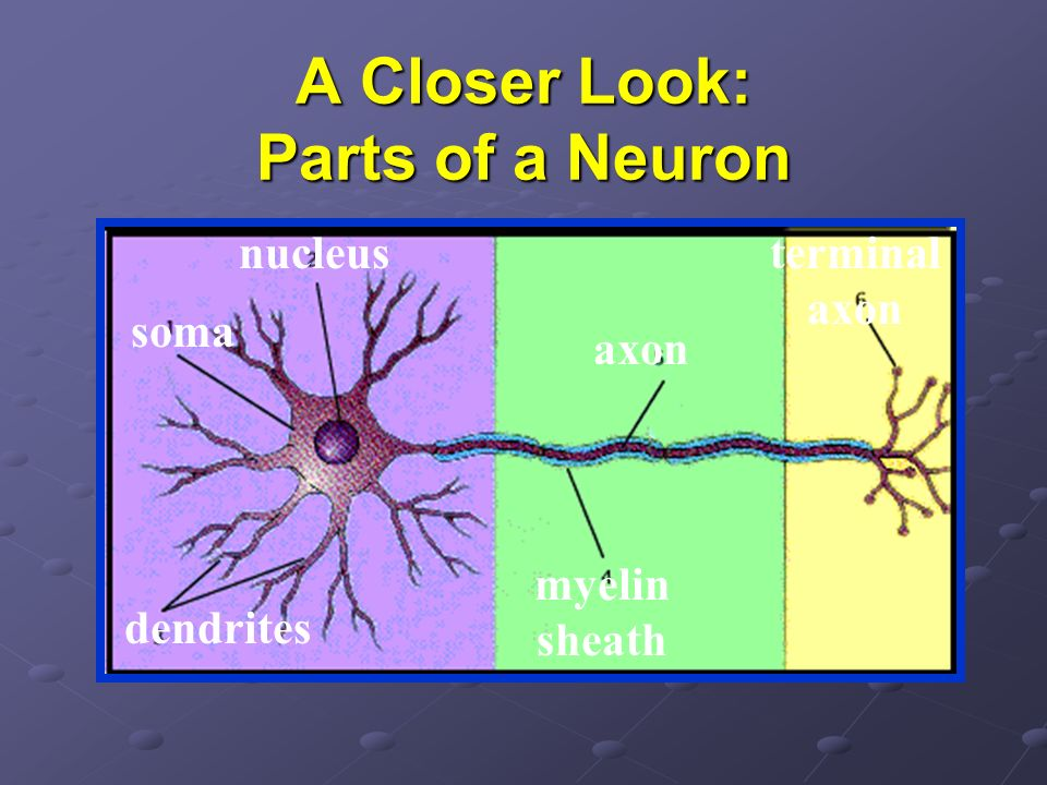 A Closer Look: Parts of a Neuron nucleus soma dendrites axon myelin sheath terminal axon