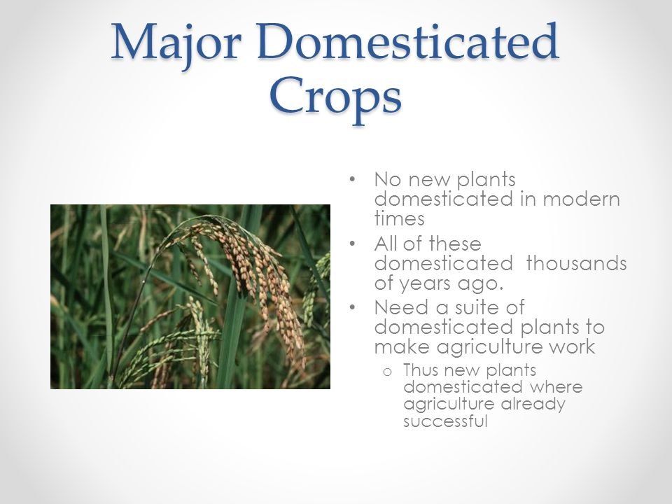Major Domesticated Crops No new plants domesticated in modern times All of these domesticated thousands of years ago. Need a suite of domesticated pla