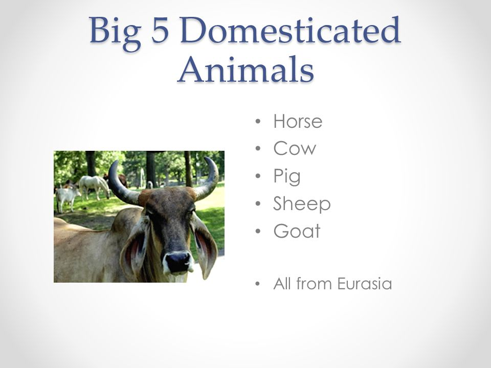 Big 5 Domesticated Animals Horse Cow Pig Sheep Goat All from Eurasia