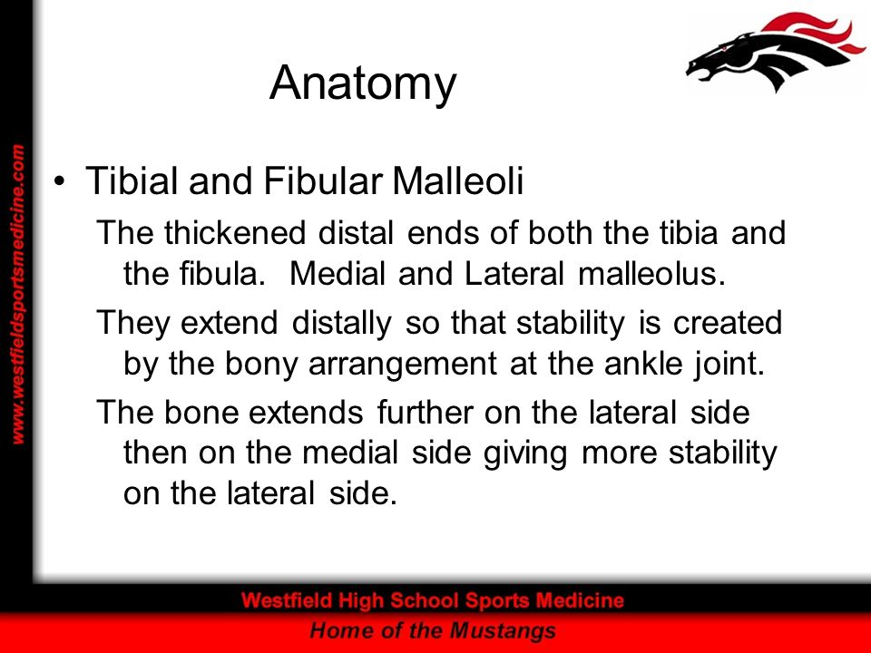 Anatomy Tibial and Fibular Malleoli The thickened distal ends of both the tibia and the fibula. Medial and Lateral malleolus. They extend distally so