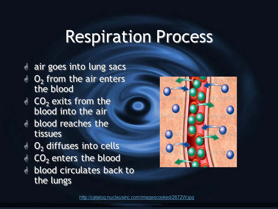 Respiration Process G air goes into lung sacs G O 2 from the air enters the blood G CO 2 exits from the blood into the air G blood reaches the tissues G O 2 diffuses into cells G CO 2 enters the blood G blood circulates back to the lungs G air goes into lung sacs G O 2 from the air enters the blood G CO 2 exits from the blood into the air G blood reaches the tissues G O 2 diffuses into cells G CO 2 enters the blood G blood circulates back to the lungs http://catalog.nucleusinc.com/imagescooked/2672W.jpg